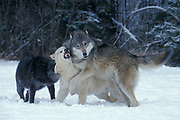 Timber or Grey Wolf, Canis Lupus,  Minnesota USA, controlled situation, in snow, winter, three wolves play fighting