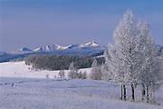Siberian larch in winter<br /> (Larix sibirica)<br /> Darkhadyn Khotgor Depression<br /> Northern Mongolia