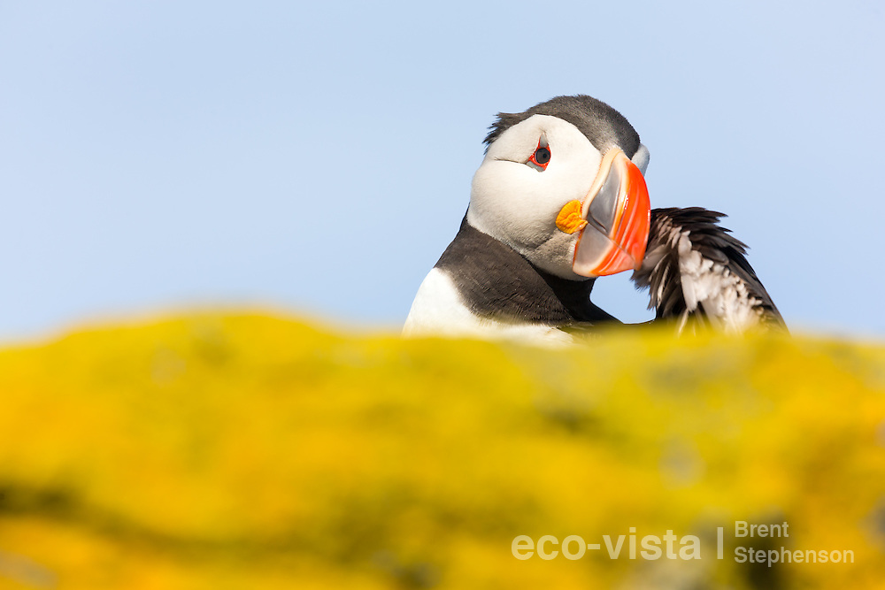 An Atlantic puffin (Fratercula arctica) stands on a rock overlooking the sea preening, with colourful yellow lichens in the foreground. Vigur Island, Isafjardardjup, Iceland. July.