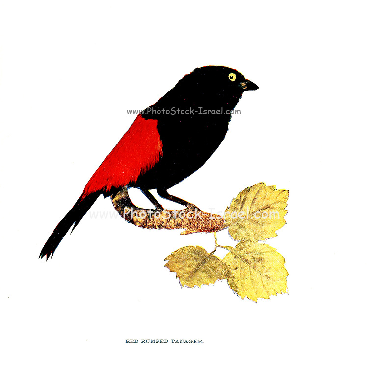Scarlet-rumped tanager [Here as Red Rumped Tanager] (Ramphocelus passerinii) is a medium-sized passerine bird. This tanager is a resident breeder in the Caribbean lowlands from southern Mexico to western Panama. From Birds : illustrated by color photography : a monthly serial. Knowledge of Bird-life Vol 1 No 1 January 1897