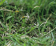 DWARF MILKWORT Polygala amarella (Height to 10cm) is a delicate downland perennial. It is similar to Chalk Milkwort but is smaller overall with tiny, usually pinkish flowers, 3-5mm long (May-Aug). It grows on chalk downs in Kent.