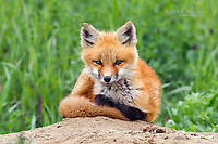 Red fox pup