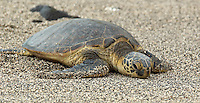 Hawaiian Green Turtle at Keoneele Cove, Puʻuhonua o Hōnaunau National Historical Park. Image taken with D2xs and 80-400 mm VR lens (ISO 100, 220 mm, f/5.3, 1/80 sec).