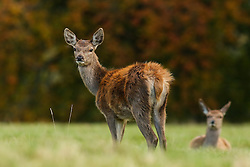 © Licensed to London News Pictures. 17/10/2016. Ripon, UK. Red deer graze in from of a colourful autumnal backdrop at Fountains Abbey, near Ripon in North Yorkshire. Photo credit : Ian Hinchliffe/LNP