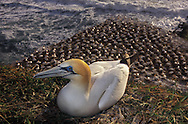 Gannet above colony at Muriwai, New Zeland