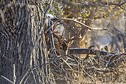 Whitetail buck in dense brushy cover.