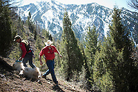 Wyoming Game & Fish wildlife biologist Gary Fralick, left, and warden Kyle Lash haul a sedated mountain goat down a hillside to meet with other biologists to collar the animal and collect samples.