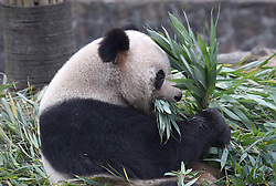 DUJIANGYAN, Dec. 21, 2016  Photo taken on Dec. 21, 2016 shows aged giant panda ''Yue Yue'' at the Dujiangyan Base of China Conservation and Research Center for the Giant Panda in southwest China's Sichuan Province. There are eight giant pandas above 20 living at the Dujiangyan base. The Dujiangyan base, which undertakes the work of disease control and prevention for pandas, also acts as a nursing home for aged pandas.  lfj) (Credit Image: © Xue Yubin/Xinhua via ZUMA Wire)