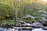 66745-04019 Dogwood trees in spring along Middle Prong Little River, Tremont area, Great Smoky Mountains National Park,TN