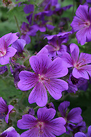 Purple geranium flowers