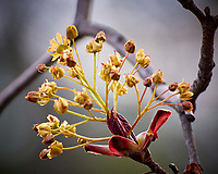 Maple Tree Flowers. Image taken with a Nikon 1 V3 camera and 70-300 mm VR lens.