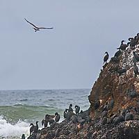 A gull flies over cormorants perching on a rock in the Pacific Ocean near Pescadero, California.