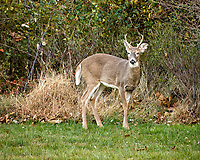 Wary buck. Backyard autumn nature in New Jersey. Image taken with a Nikon D2xs camera and 80-400 mm VR lens (ISO 400, 400 mm, f/5.6, 1/45 sec).