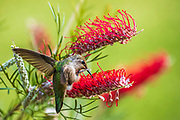 Annas Hummingbird (Calypte anna) perched on a twig and sipping at a Grevillia plant