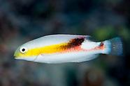 Choerodon jordani (Jordan's tuskfish)
