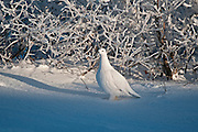 Willow ptarmigan on snowy tundra<br /> Churchill<br /> Manitoba<br /> Canada