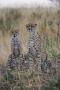Two alert cheetahs (Acinonyx jubatus) on the lookout. Photographed in Kenya