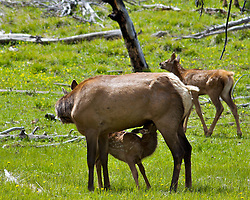 Nursing elk calf, Yellowstone National Park