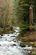 USA, Oregon, Siuslaw National Forest, hiker on the trail along Sweet Creek, (MR)