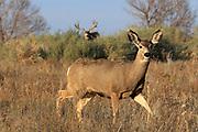 A massive mule deer buck follows a doe across an open flat in the western United States.