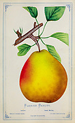Flemish Beauty Pear from Dewey's Pocket Series ' The nurseryman's pocket specimen book : colored from nature : fruits, flowers, ornamental trees, shrubs, roses, &c by Dewey, D. M. (Dellon Marcus), 1819-1889, publisher; Mason, S.F Published in Rochester, NY by D.M. Dewey in 1872