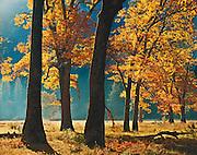 Black oaks, autumn, El Capitan Meadow, Yosemite Valley, Yosemite National Park, California