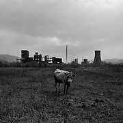 A cow stands alone, tethered in a field on the outskirts of the small Romanian town of Copsa Mica with the Carbosin factory skeleton in the background in Copsa Mica, Transylvania, Romania. Copsa Mica was once described as the most polluted town in Europe. The factory closed down in 1993. May 08, 2008 Photo Tim Clayton...Copsa Mica, a small industrial town deep in Transylvania, Romania, was described during the 1990s as the most polluted town in Europe with lead levels reaching were more than 1000 times the allowable International limits and life expectancy nine years shorter than the National average...The pollution was caused entirely by two factories, Carbosin produced black for dies and tires and closed in 1993 while Sometra, a nonferrous smelter is still operational today...The pollution was so bad sheep were black, covered in soot and health officials advised against eating livestock or vegetables and drinking the water or milk...The Communist rule of Nicolae Ceausescu is blamed for the widespread environmental degradation that left industrial parts of Romania in ecological disaster. Industry was situated in a way to concentrate pollution in small areas leaving the rest of the country relatively free of pollution.Copsa Mica in particular was left an environmental disaster...The pollution caused a direct affect on human health with widespread Lung disease, Impotency, the highest infant mortality rate in Europe, Lead poisoning andbehavioral problems...Fifteen years on since the closure of Carbosin in 1993, the factory skeleton remains as part of the towns bleak landscape, Unfinished communist style housing blocks still stand in the heart of the towns housing estate. The town's inhabitants arestill trying to recover from the long lasting effects of pollution...Recent survey's found the soil contained so much lead that it was 92 times above the permitted level; the vegetation had a lead content 22 times above the permitted level. While toxins have penetrate