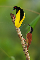 Twelve-wired Bird of Paradise (Seleucidis melanoleuca) male displaying to a female at his display pole in the swamp rain foerst at Nimbokrang, Papau, Indonesia, Island of New Guinea.
