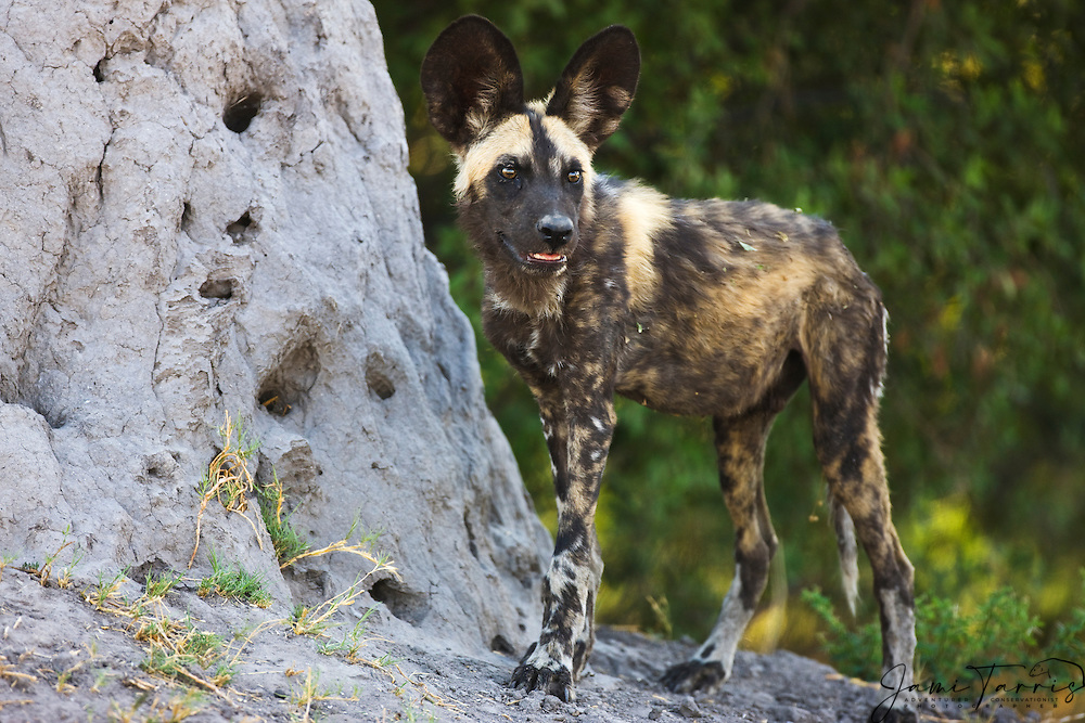 Endangered african wild dog ( Lycaon pictus ) stands alert on termite mound,Khwai River, Moremi Game Reserve, Botswana, Africa