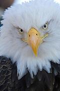 Bald Eagle, Haliaeetus leucocephalus, Portrait, Kenai Peninsula, Homer Spit, Homer, Alaska. Digital original, #2006_0583