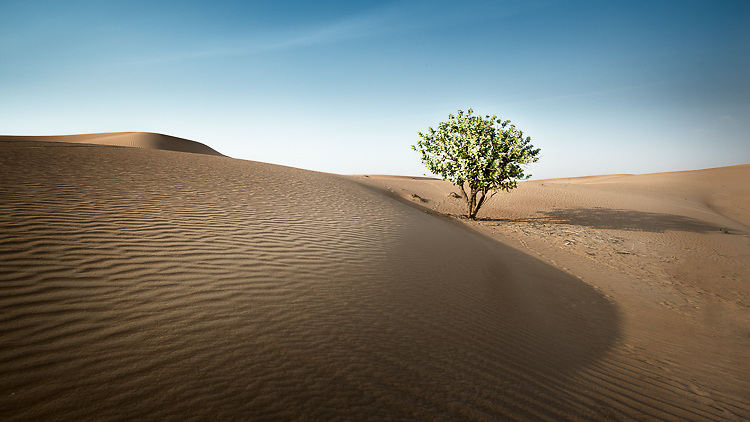 Tree in the Desert - United Arab Emirates, 2014