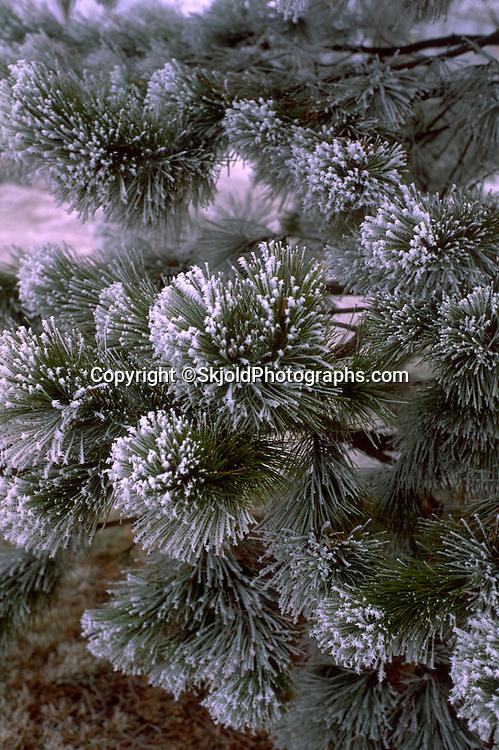 Evergreen tree flocked with snow in the winter. Minneapolis Minnesota USA