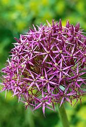 Allium cristophii syn. Allium christophii, Allium albopilosum