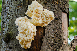 Kammetjesstekelzwam, Hericium coralloides