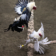 THE PHILIPPINES (Manila). 2009. Two game cocks, each with three inch razor sharp blades fastened to their left ankles fight to the death at the Makati Coliseum,  Makati City, Manila. Photo Tim Clayton <br /> <br /> Cockfighting, or Sabong as it is know in the Philippines is big business, a multi billion dollar industry, overshadowing Basketball as the number one sport in the country. It is estimated over 5 million Roosters will fight in the smalltime pits and full-blown arenas in a calendar year. TV stations are devoted to the sport where fights can be seen every night of the week while The Philippine economy benefits by more than $1 billion a year from breeding farms employment, selling feed and drugs and of course betting on the fights...As one of the worlds oldest spectator sports dating back 6000 years in Persia (now Iran) and first mentioned in fourth century Greek Texts. It is still practiced in many countries today, particularly in south and Central America and parts of Asia. Cockfighting is now illegal in the USA after Louisiana becoming the final state to outlaw cockfighting in August this year. This has led to an influx of American breeders into the Philippines with these breeders supplying most of the best fighting cocks, with prices for quality blood lines selling from PHP 8000 pesos (US $160) to as high as PHP 120,000 Pesos (US $2400)..