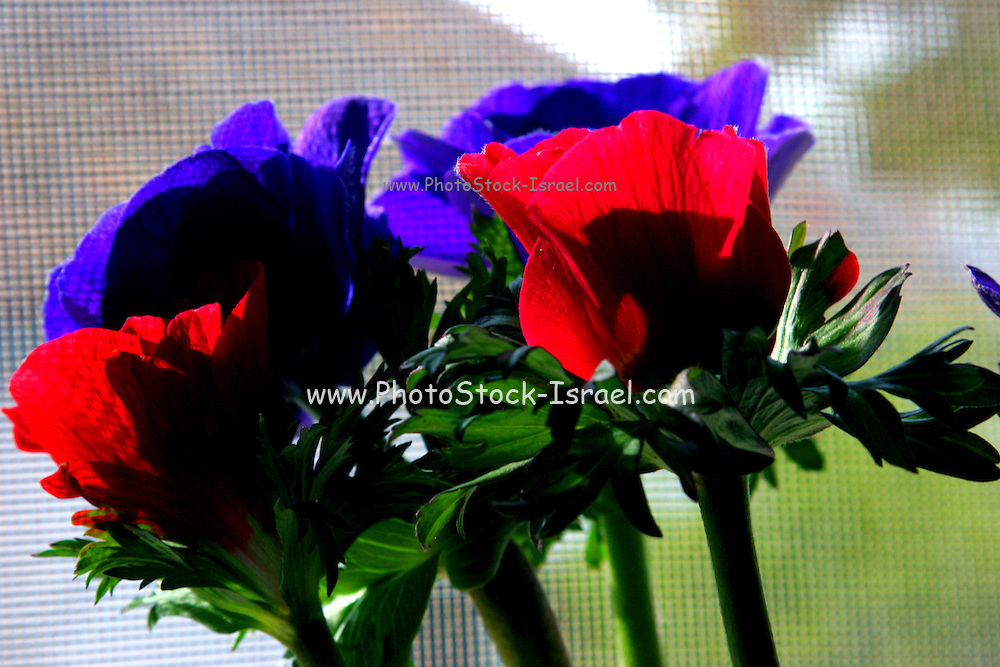A bouquet of cultivated red and purple Anemone flowers