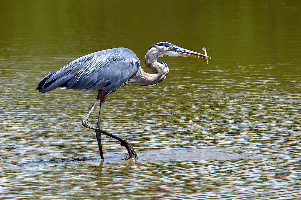 A Great Blue Heron enjoys a mid-day snack at the Blackwater National Wildlife Refuge on Maryland's Eastern shore.