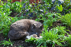 Cat sleeping amongst salad leaves