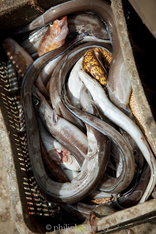 A crate of caught fish and eels at the fish market on the dock in Essaouira, Morocco