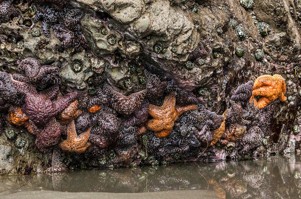 Starfish at 2nd Beach, Olympic Coast National Marine Sanctuary / National Park, Washington, USA.