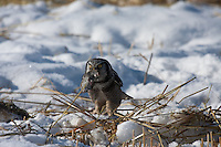 Every once in awhile the local birding community goes crazy about a special visitor to the area.  Recently reports have been coming in daily about a trio of Northern Hawk Owls living north of Cochrane.  I was was lucky enough to see two of the three birds today...©2009, Sean Phillips.http://www.Sean-Phillips.com