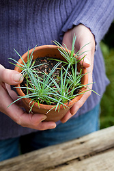 Holding a pot of grown on dianthus (Pinks) cuttings