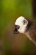 A male White Fronted Brown Lemur on the island reserve of Nosy Mangabe, Madagascar