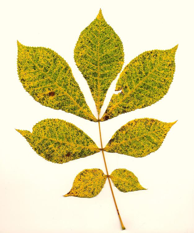 Fall leaf southeastern Ohio