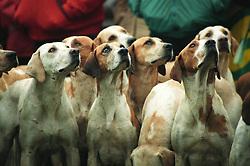 Fox hounds at a pro-hunt demonstration, Leicestershire, England, UK, 27/11/97.<br /> Photo © Ed Maynard<br /> +44 (0) 7976 239804<br /> www.edmaynard.com<br /> mail@edmaynard.com