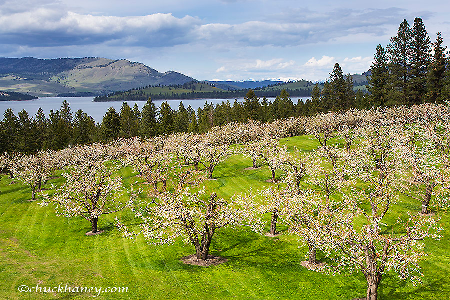 Flathead Cherry Orchard in bloom along Flathead Lake in Montana, USA