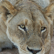 Portrait of female African lion sleeping. Timbavati Private Nature Reserve. South Africa.