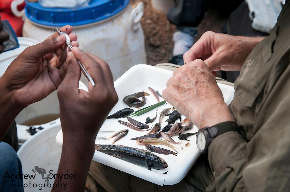 Fish biologists preparing specimens for the Royal Ontario Museum.