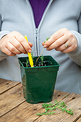 Taking heel cuttings from lavender - placing around the edge of a plastic pot using a dibber