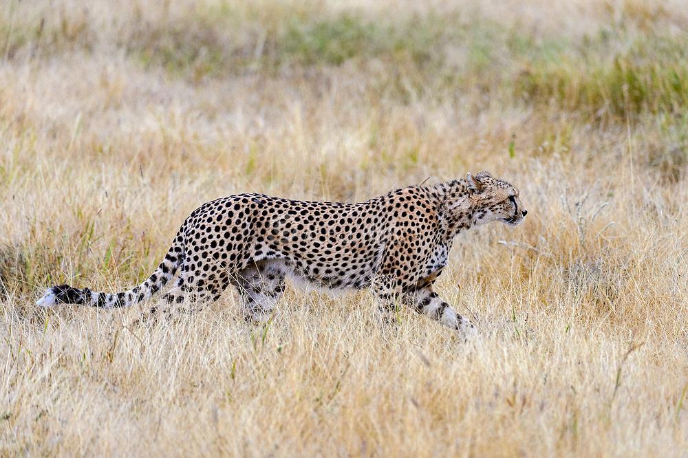 Cheetah (Acinonyx jubatus) from Amboseli NP, Kenya